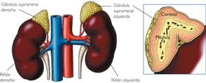 Localización de la hormona aldosterona.